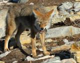 Coyote D-013.jpg