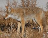 Coyote D-023.jpg
