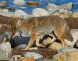 Coyote D-054.jpg