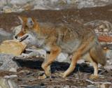 Coyote D-055.jpg