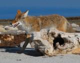 Coyote D-060.jpg