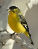 Goldfinch Lesser D-005.jpg