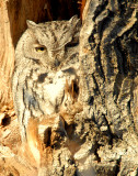 Owl Western Screech D-037.jpg