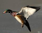 Duck Wood D-026.jpg