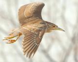 Night-Heron Black-crowned D-042.jpg