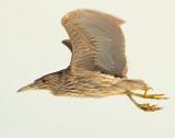 Night-Heron Black-crowned D-045.jpg