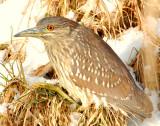 Night-Heron Black-crowned D-041.jpg