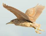 Night-Heron Black-crowned D-049.jpg
