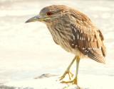 Night-Heron Black-crowned D-051.jpg