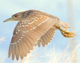 Night-Heron Black-crowned D-053.jpg
