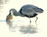 Heron, Great-Blue #2