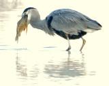 Heron Great Blue D-057.jpg