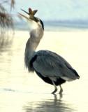 Heron Great Blue D-060.jpg