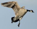 Goose Canada D-050.jpg