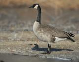 Goose, Canada D-052.jpg