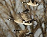 Geese Canada D-027.jpg