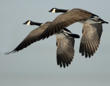 Geese Canada D-026A.jpg