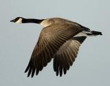 Goose Canada D-028.jpg