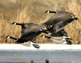 Geese, Canada D-032.jpg