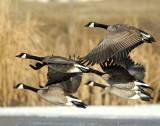 Geese, Canada D-033.jpg