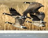 Geese, Canada D-034.jpg