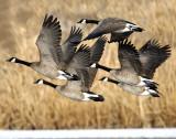 Geese, Canada D-035.jpg