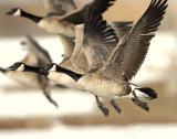 Geese, Canada D-039.jpg