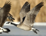 Goose, Canada D-040.jpg