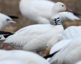 Goose, Lesser Snow