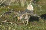 Grouse Sharp-tailed D-028.jpg