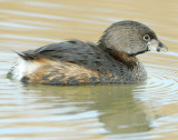 Grebe Pied-billed D-033.jpg