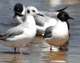 Gull Bonapartes D-031.jpg