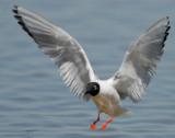 Gull Bonapartes D-028.jpg