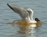 Gull Bonapartes D-026.jpg
