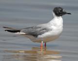 Gull Bonapartes D-032.jpg