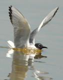 Gull Bonapartes D-030.jpg