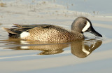 Teal, Blue-winged (Male)