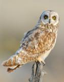 Owl Shot-eared D-135.jpg