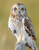 Owl Shot-eared D-141.jpg