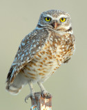 Owl Burrowing D-020.jpg