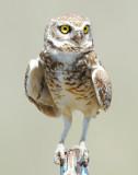 Owl Burrowing D-023.jpg