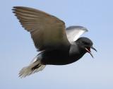 Tern BlackD-104.jpg
