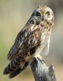 Owl Shot-eared D-150.jpg