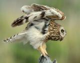 Owl Shot-eared D-157.jpg