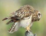 Owl Shot-eared D-158.jpg