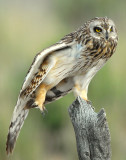 Owl Shot-eared D-151.jpg