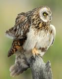 Owl Shot-eared D-162.jpg