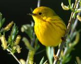 Warbler Yellow D-014.jpg
