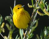 Warbler Yellow D-013.jpg