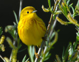 Warbler Yellow D-012.jpg